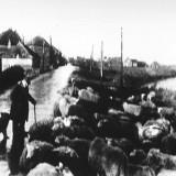 Schaap herder Kamperzeedijk